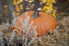Pumpkin Display. Large Orange Pumpkin sitting on display in natural setting. Pumpkin surrounded by fall grasses and leaves Stock Photo