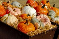 Pumpkin display in old farm equipment on ranch road royalty free stock photos