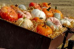 Pumpkin display in old farm equipment on ranch road royalty free stock images