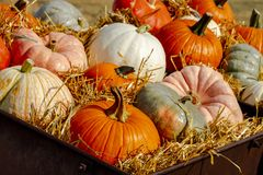 Pumpkin display in old farm equipment on ranch road royalty free stock image