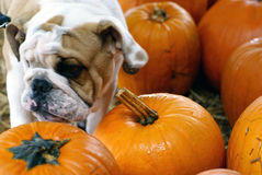 Pumpkin and dog Royalty Free Stock Photo