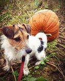 Pumpkin and dog stock images