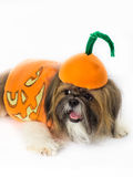 Pumpkin-Dressed Dog Stock Photos