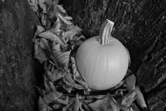 Pumpkin in dry autumn leaves against a tree trunk Stock Image