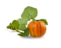 Pumpkin entwined with leaves on a white background Stock Image