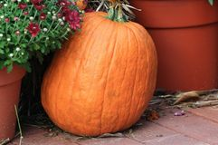 Pumpkin. Fall pumpkin on the ground Stock Photos