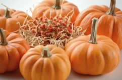 Pumpkin in a fall nest of corn and red berries. Happy Thanksgiving orange pumpkins background stock images