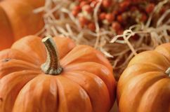 Pumpkin in a fall nest of corn and red berries. Happy Thanksgiving orange pumpkins background royalty free stock photo