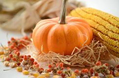 Pumpkin in a fall nest of corn and red berries. Happy Thanksgiving orange pumpkins background royalty free stock images