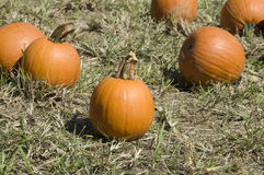 Pumpkin Farm Royalty Free Stock Image