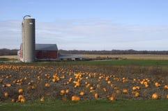 Pumpkin Farm. Pumpkins in the field awaiting harvest stock image