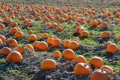 Pumpkin in farm Royalty Free Stock Photos