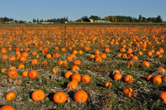 Pumpkin farm Royalty Free Stock Photo