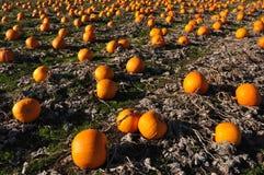 Pumpkin farm Royalty Free Stock Images