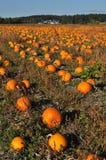 Pumpkin farm Stock Image