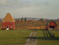 Pumpkin farm. In autumn scene Royalty Free Stock Image