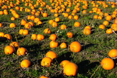 Pumpkin farm Royalty Free Stock Photo