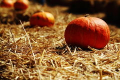 Pumpkin in farm Stock Photography