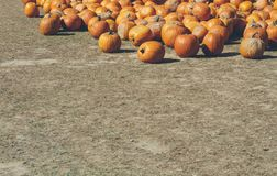 Pumpkin farm background with nobody. Pumpkin farm background with copy space with nobody Royalty Free Stock Photo