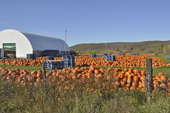 Pumpkin Farm Harvest Stock Photography