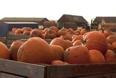 Pumpkin farm at harvest time Royalty Free Stock Photos
