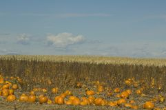 Pumpkin farm on the high plains Royalty Free Stock Photo