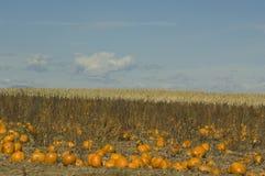Pumpkin farm on the high plains Royalty Free Stock Photo