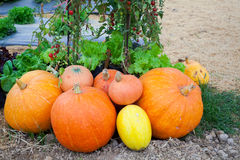 Pumpkin Farm Is Ready To Sell Stock Photos
