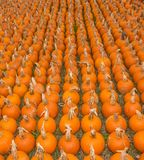Pumpkin Farm Stock Images