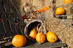 Pumpkin farm in Netherlands Stock Images