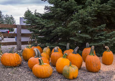 Pumpkin Farm Royalty Free Stock Image