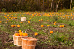 Pumpkin Farm. Small pumpkins in a farm for Fall harvest Royalty Free Stock Photography