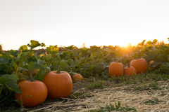 Pumpkin farm during sunset Royalty Free Stock Photography