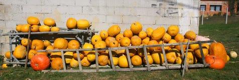 Pumpkin farmyard Royalty Free Stock Image