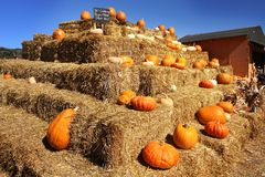Pumpkin festival. Halloween. Ripe pumpkins in the field stock photo