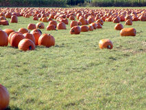 Pumpkin field. Lots of pumpkins, in a big pumpkin field Royalty Free Stock Photos