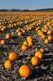 Pumpkin field stock photo
