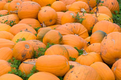 Pumpkin field. Pumpkins in a field. A lot of pumpkins covering the picture Stock Photos