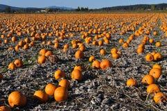 Pumpkin field Royalty Free Stock Photos