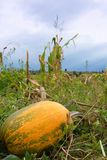 Pumpkin in field. Large pumpkin growing in maize field among weeds on subsistence farmer field in africa with moody sky Stock Image