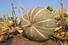 Pumpkin in a field Royalty Free Stock Image
