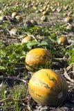 Pumpkin field Royalty Free Stock Photography