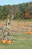 Pumpkin Field Royalty Free Stock Image