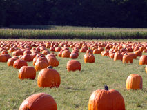 Pumpkin field 2 Stock Photo