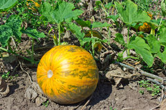 Pumpkin on field Stock Photos