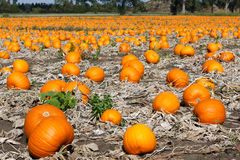 Pumpkin field Stock Photography