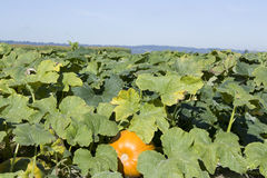 Pumpkin patch farm Royalty Free Stock Photos
