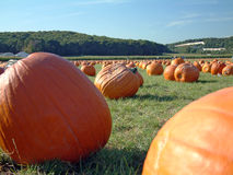 Pumpkin field 3. Lots of pumpkins in a large pumpkin field Stock Image