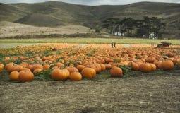 Pumpkin field Stock Image