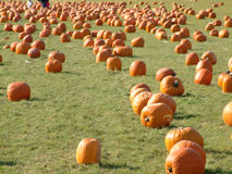 Pumpkin field 4. Lots of pumpkins in a large pumpkin field Stock Photography